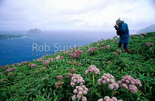 Tourist photographing Anisotome latifolia 'Mega-herbs'. Dent Island beyond, Campbell Island, NZ Sub Antarctic District, NZ Sub Antarctic Region, New Zealand (NZ) stock photo.