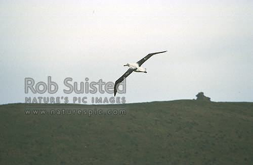 Southern Royal albatross (Diomedea e. epomophora) in flight, Campbell Island, NZ Sub Antarctic District, NZ Sub Antarctic Region, New Zealand (NZ) stock photo.
