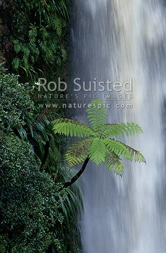 Water falling past Mamaku tree fern, Whanganui National Park, New Zealand (NZ) stock photo.