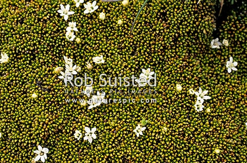 Rock cushion plant (Phyllachne colensoi ) in flower, Nelson Lakes National Park, New Zealand (NZ) stock photo.