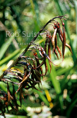 Flax (Phormium tenax) seed pods; January, Westland National Park, New Zealand (NZ) stock photo.