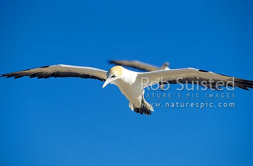 Gannet (Morus serrator / Sula serraor), or Takapu on the wing; Summit colony; Cape Kidnappers, Hawke's Bay, New Zealand (NZ) stock photo.