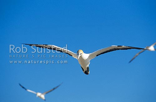Gannet (Morus serrator / Sula serraor), or Takapu on the wing; Summit colony; Cape Kidnappers, Hawke's Bay, Hastings District, Hawke's Bay Region, New Zealand (NZ) stock photo.