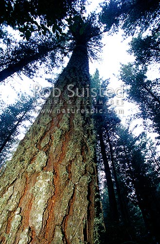 View up through Pinus radiata plantation forest, Taupo, New Zealand (NZ) stock photo.