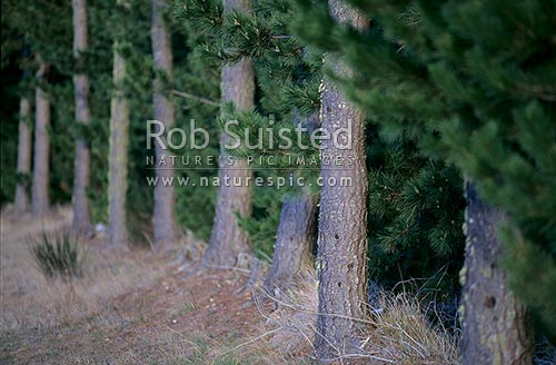 Pinus radiata tree trunk, Taupo, New Zealand (NZ) stock photo.