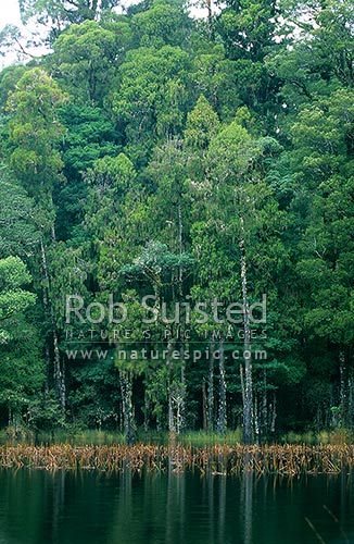 Waihora Lagoon amongst tall Podocarp forest - Rimu etc, Pureora Forest Park, Waitomo District, Waikato Region, New Zealand (NZ) stock photo.
