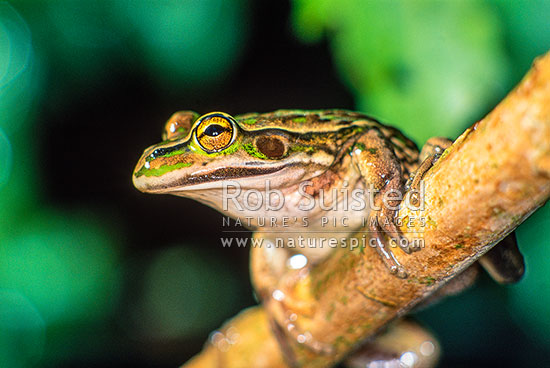 Green Frog (Litoria aurea), New Zealand (NZ) stock photo.