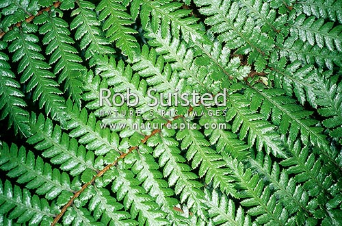 Tree fern fronds, Waikanae, New Zealand (NZ) stock photo.