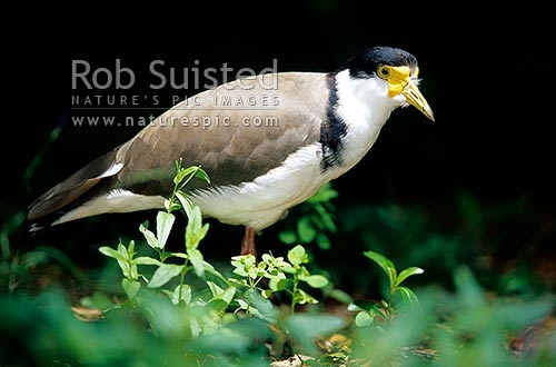 Spur-winged plover (Vanellus miles novaehollaniae). Close up of bird sitting on branch, Waikato, Waikato District, Waikato Region, New Zealand (NZ) stock photo.