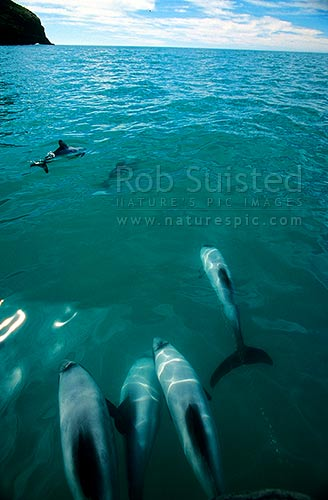 Hector's Dolphins (Cephalorhychus hectori) in Flea Bay (Pohatu Marine Reserve), Banks Peninsula, Akaroa, Banks Peninsula District, Canterbury Region, New Zealand (NZ) stock photo.