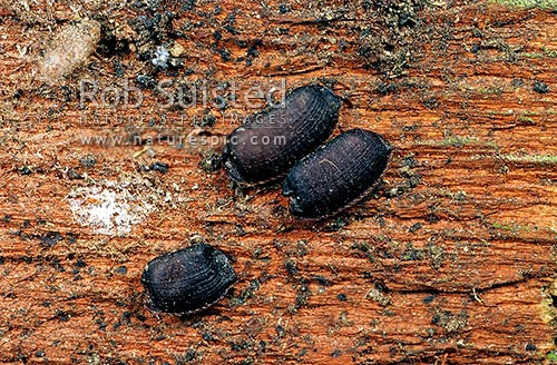 Native Cockroaches egg cases in wood, Wellington, Wellington City District, Wellington Region, New Zealand (NZ) stock photo.
