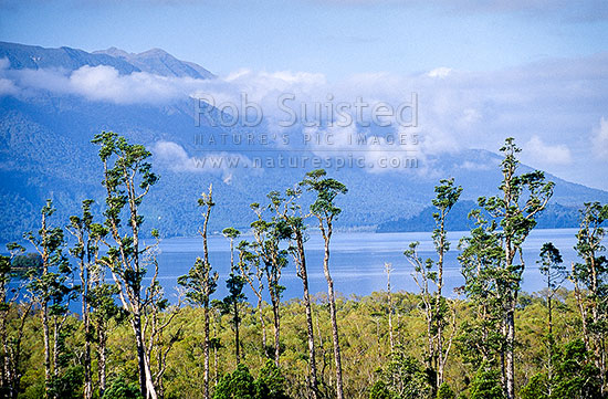 Kahikatea (Dacrycarpus dacrydioides) trees standing on the shore of Lake Brunner, Westland, Westland District, West Coast Region, New Zealand (NZ) stock photo.