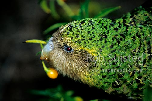 Critically endangered Kakapo (Strigops habroptilus) feeding on Poroporo fruit, 'Trevor', Maud Island, Marlborough Sounds, Marlborough District, Marlborough Region, New Zealand (NZ) stock photo.