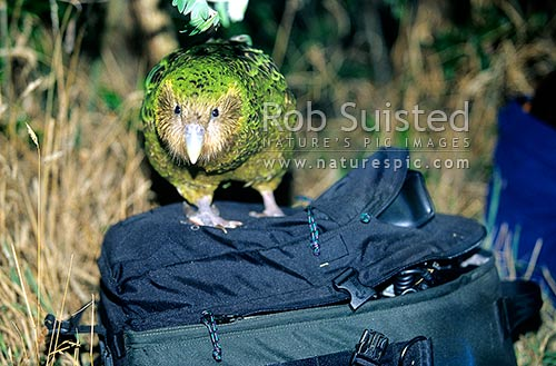 Critically endangered Kakapo (Strigops habroptilus), 'Boomer' checking out my camera bag, Maud Island, Marlborough Sounds, Marlborough District, Marlborough Region, New Zealand (NZ) stock photo.