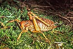 Giant weta in defense pose