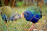 Takahe and chick