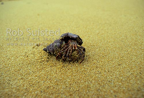 Hermit crab on South lords beach, Stewart Island, New Zealand (NZ) stock photo.
