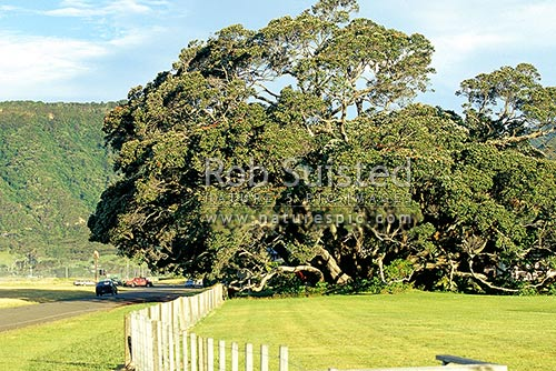 Biggest' Pohutukawa Tree (Metrosideros excelsa) 'Rerekohu' in New Zealand. 21m, 350 years old, Te Araroa, East Coast, Gisborne District, Gisborne Region, New Zealand (NZ) stock photo.