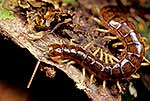 Native giant centipede