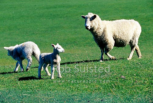 Spring lambs and sheep (Ovis aries), New Zealand (NZ) stock photo.