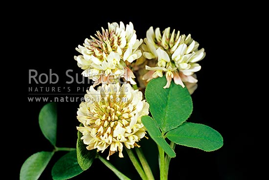 White clover flowers and leaf (Trifolium repens - Fabaceae), New Zealand (NZ) stock photo.
