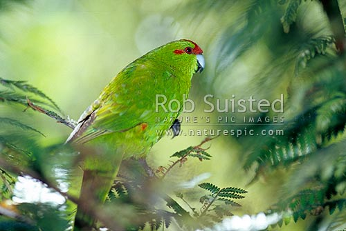 Red crowned parakeet (Cyanoramphus novaezelandiae), kakariki bird, New Zealand (NZ) stock photo.