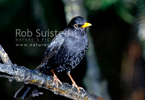 Male Blackbird (Turdus merula) - introduced species, New Zealand (NZ) stock photo.