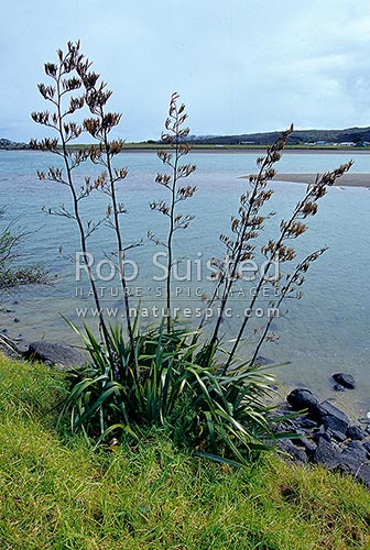 New Zealand Flax (Phormium tenax) with seed heads, Raglan Harbour, Raglan, Waikato District, Waikato Region, New Zealand (NZ) stock photo.