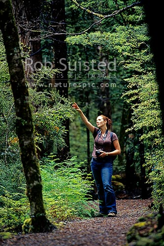 Woman visitor to a forest walking track through beech forest (Nothofagus sp.), Nelson Lakes National Park, Marlborough District, Marlborough Region, New Zealand (NZ) stock photo.