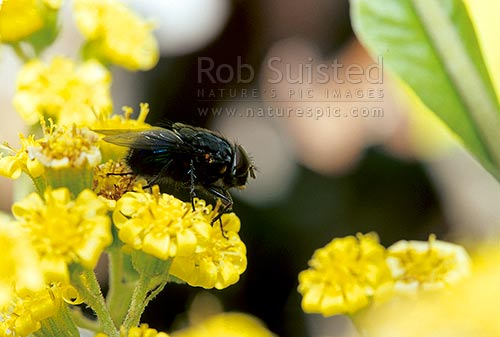 A fly pollinating flower - Groundsel (Brachyglottis sp.), New Zealand (NZ) stock photo.