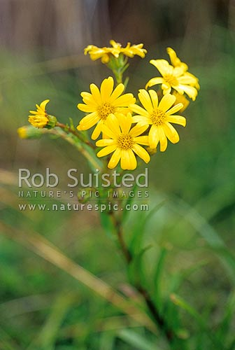 Yellow snow marguerite (Dolichoglottis lyallii), Fiordland National Park, New Zealand (NZ) stock photo.