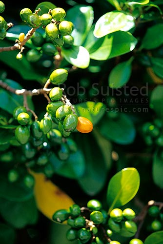 Karaka tree leaves and drupes/berries (Corynocarpus laevigatus), New Zealand (NZ) stock photo.