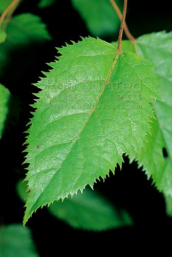 Native Wineberry leaf / Makomako (Aristotelia serrata), Tararua Forest Park, New Zealand (NZ) stock photo.