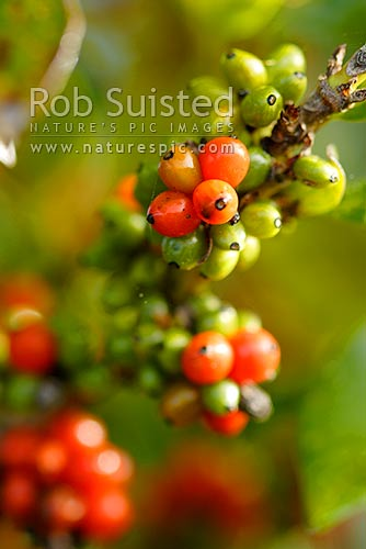 Orange Karamu (Coprosma robusta) drupes / fruit / berries. Ripe and unripe fruit, Tokaanu, New Zealand (NZ) stock photo.