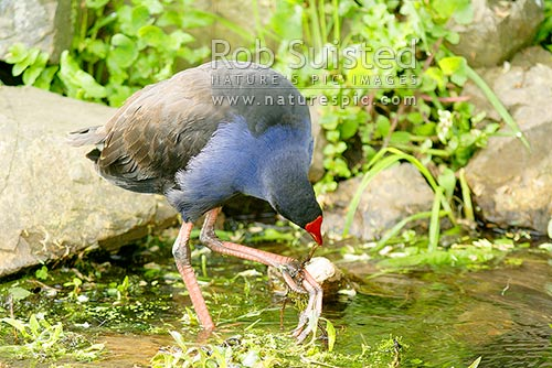 Pukeko (Porphyrio melanotus) feeding in wetland, New Zealand (NZ) stock photo.
