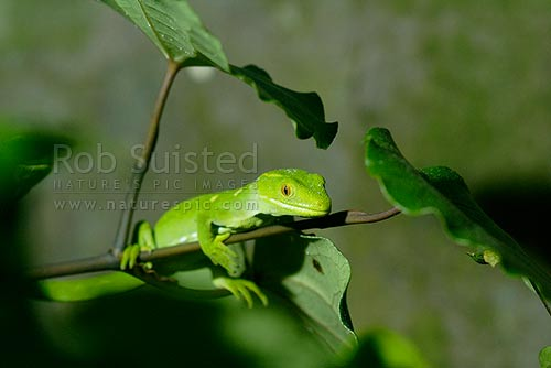 Native Northland Green Geckos (Naultinus grayii), also known as Gray's gecko, New Zealand (NZ) stock photo.