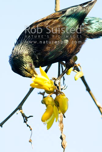 Tui Bird (Prosthemadera novaeseelandiae) feeding on Kowhai flowers (Sophora tetraptera), and pollinating, New Zealand (NZ) stock photo.