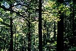 Beech forest interior