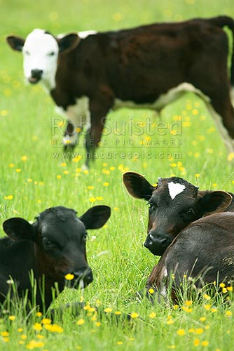 Young cattle / young calves / young calf in buttercup paddock or field, Manawatu, New Zealand (NZ) stock photo.
