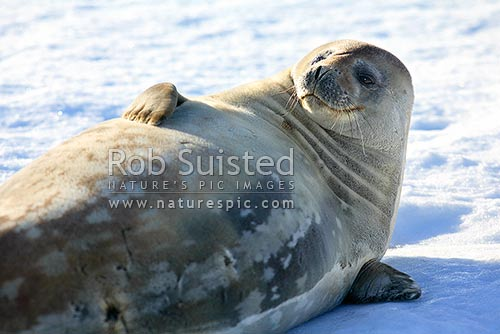 Weddell seal on ice (Leptonychotes weddellii), Commonwealth Bay, George V Land, Antarctica District, Antarctica Region, Antarctica stock photo.