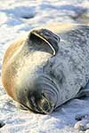 Weddell Seals, Antarctic