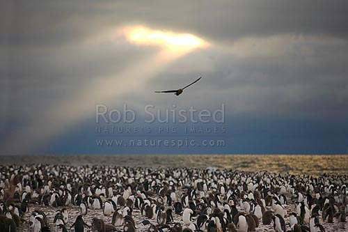 Adelie penguin rookery with adults and penguin chicks (Pygoscelis adeliae), and Skua above (Catharacta sp.). Franklin Island, Ross Sea, Antarctica stock photo.