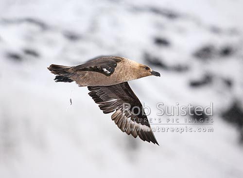 South Polar Skua flying and defecating! (Catharacta maccormicki). Antarctic skua, Ross Sea, Antarctica District, Antarctica Region, Antarctica stock photo.