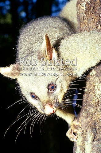 Possum (Trichosurus vulpecula) on side of tree, New Zealand (NZ) stock photo.