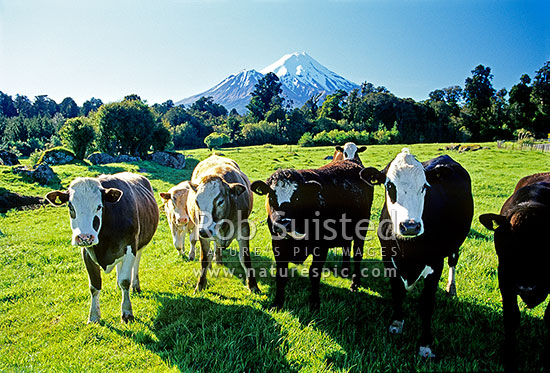 Mount (Mt) Egmont / Mount (Mt) Taranaki above an inquisitive herd of young cattle and lush grass paddocks, Eltham, South Taranaki District, Taranaki Region, New Zealand (NZ) stock photo.