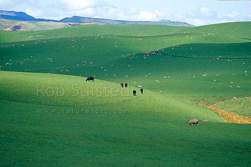 Sheep and cattle grazing on rolling hill country from the Napier-Taihape Road. Near Ngamatea Station. Paddocks and grass, Moawhango, Rangitikei District, New Zealand (NZ) stock photo.