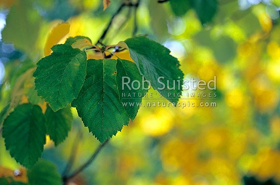 Tree leaves turning yellow in autumn. Autumn colours, Queenstown, New Zealand (NZ) stock photo.
