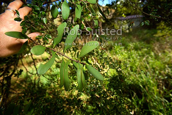 Rare endangered endemic Alepis flavida mistletoe plant growing on Black beech tree host (Fuscospora solandri Syn. Nothofagus solandri), Wairarapa, New Zealand (NZ) stock photo.