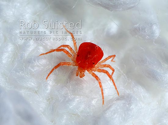 European whirligig mite, beneficial predator in the genus Anystis (probably Anystis baccarum, Order: Acarina; Anystidae). Biological Control Agent, New Zealand (NZ) stock photo.