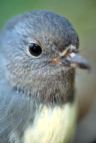 South Island Robin (Petroica a. australis) bird closeup, Long Island, Picton, New Zealand (NZ) stock photo.
